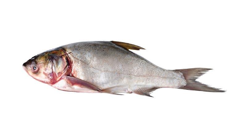 Whole round sliver carp fish on white royalty free stock photos