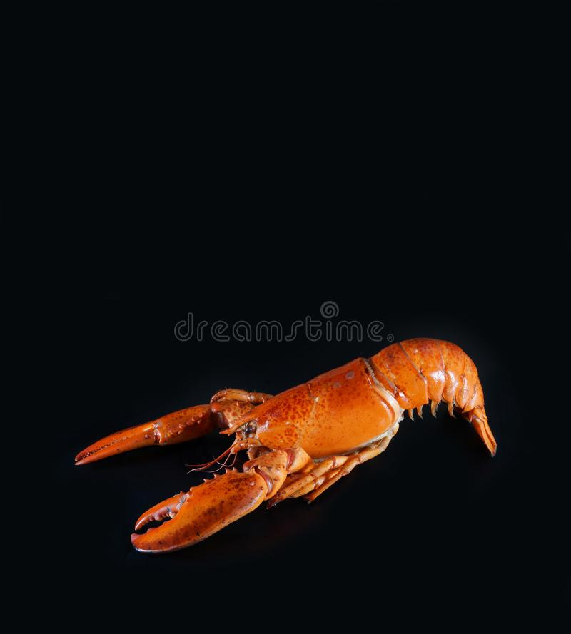 Fresh american lobster, whole silhouette on a dark background. The whole silhouette of cooked lobster prepared for further processing in order to prepare an royalty free stock images