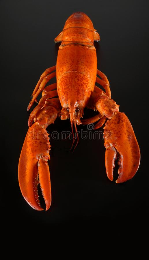 Fresh american lobster, whole silhouette on a dark background stock photo