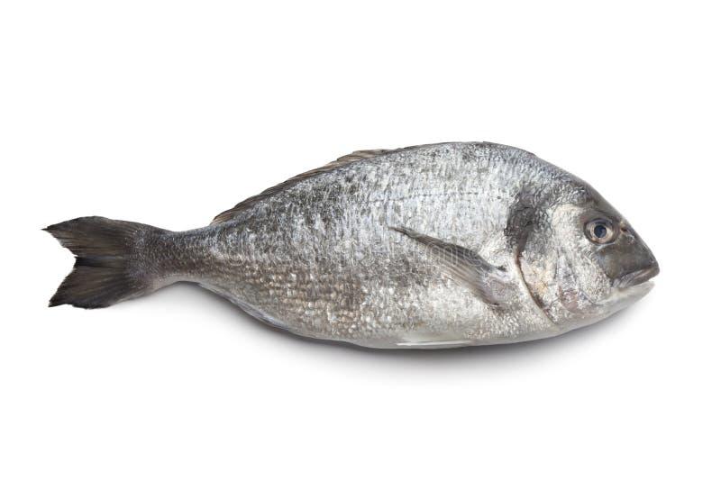 Whole single Dorade fish. On white background royalty free stock photos