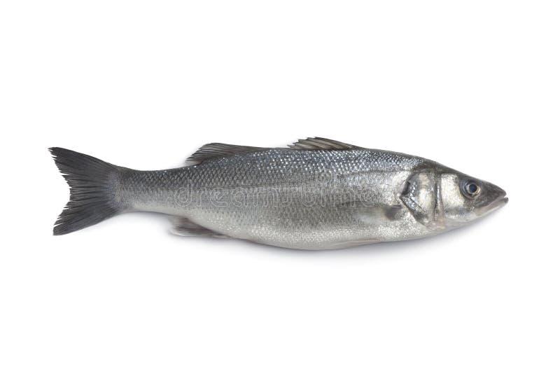 Whole single fresh sea bass stock image