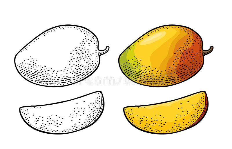 Whole and slice mango. Vector color vintage stock illustration