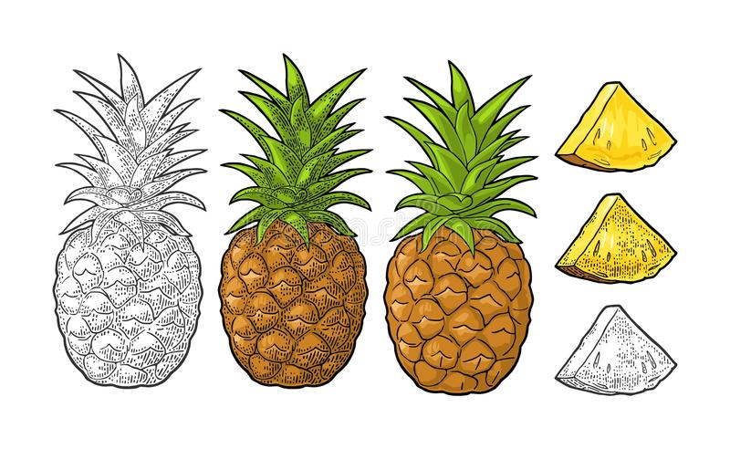 Whole and slice pineapple. Vector black vintage engraving. Whole and slice pineapple. Vector color and black vintage engraving illustration for menu, poster stock illustration