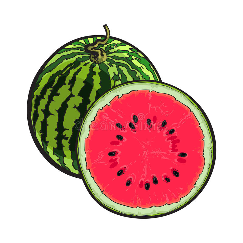 Whole striped watermelon and cut in half, sketch illustration royalty free illustration