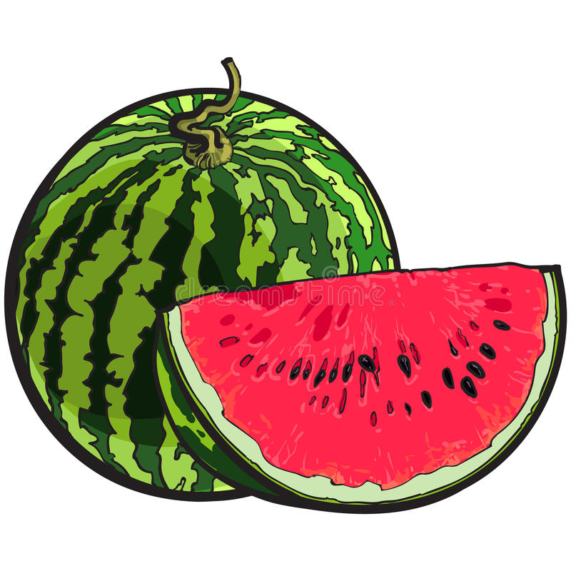 Whole watermelon and red slice with black seeds, sketch illustration. Whole striped watermelon with curled up tail and red slice with black seeds, sketch style vector illustration