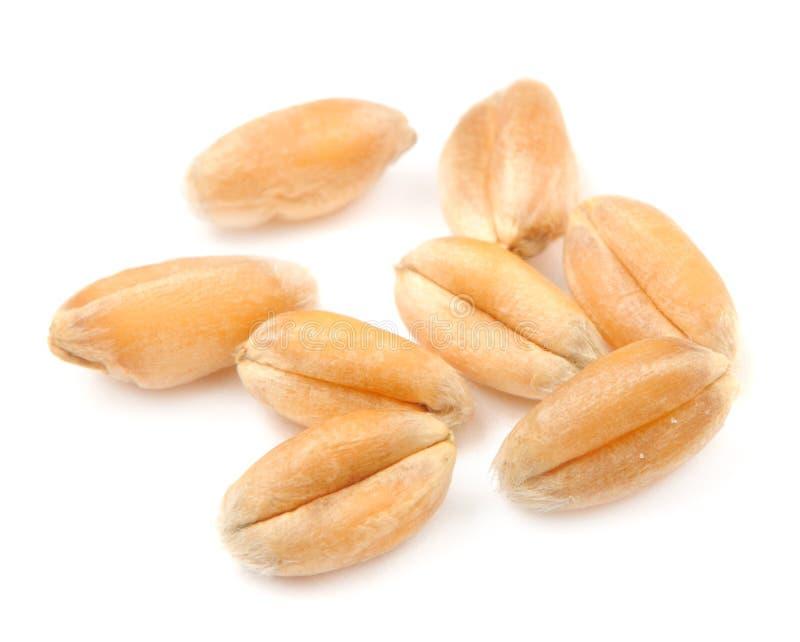 Whole Wheat Grains Macro royalty free stock image