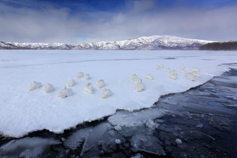 Whooper łabędź, Cygnus cygnus, ptaki w natury siedlisku, Jeziorny Kusharo, zimy scena z śniegiem i lód w jeziornej, mgłowej górze zdjęcie royalty free