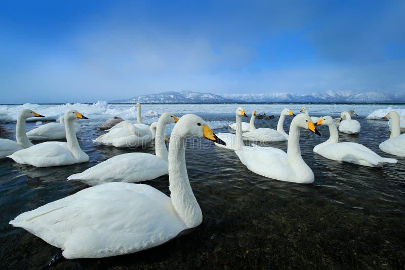 Whooper łabędź, Cygnus cygnus, ptaki w natury siedlisku, Jeziorny Kusharo, zimy scena z śniegiem i lód w jeziorze, mgłowym obrazy stock