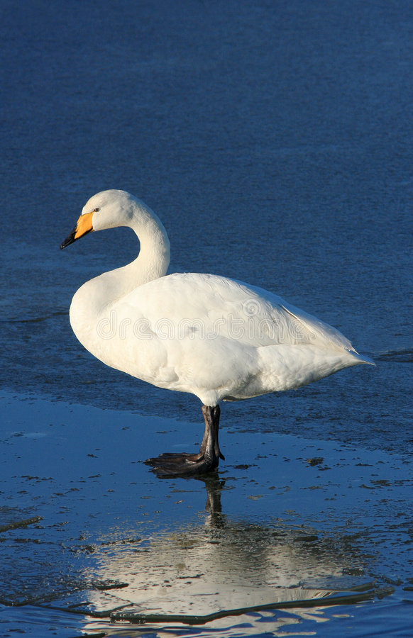 Whooper on Ice. A lone Whooper swan standing on an ice covered pond at the Wildfowl and Wetland Trust Reserve at Caerlaverock in South West Scotland, UK. These royalty free stock photography