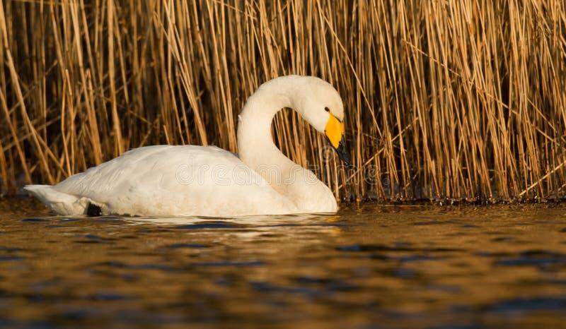 Download Whooper Swan stock photo. Image of wetland, waterfowl - 24010216