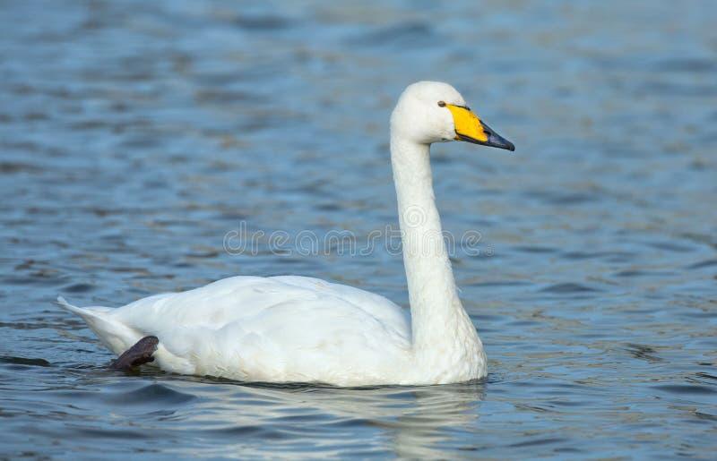 Whooper swan. A whooper swan in blue water stock photo