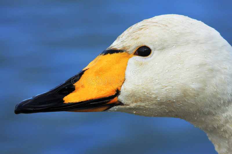 Whooper Swan. Close up of the head of a Whooper Swan at the Wildfowl and Wetland Trust Reserve at Caerlaverock in South West Scotland, UK. These migratory swans stock photography