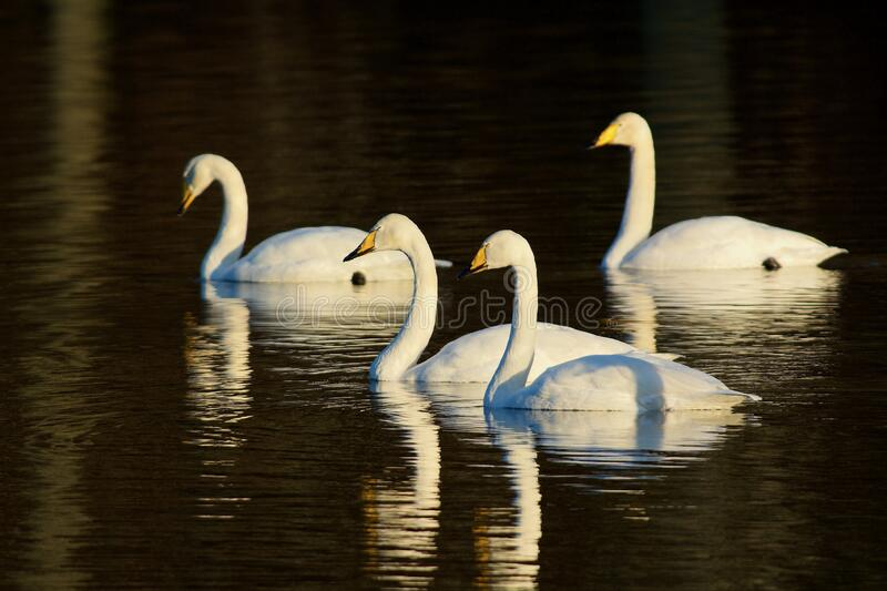 Whooper swan on the west coast in Sweden royalty free stock images