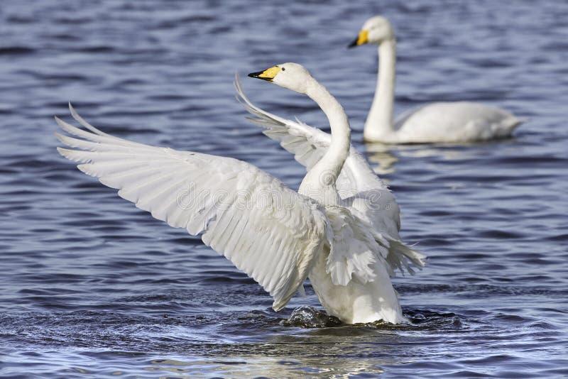 Whooper Swan (Cygnus cygnus) royalty free stock image