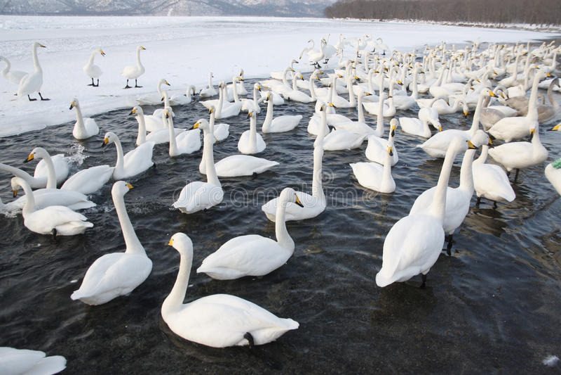 Whooper Swan, Cygnus Cygnus Royalty Free Stock Photos