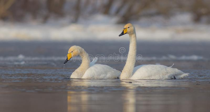 Whooper Swan - Cygnus cygnus - pair. In winter on a frozen river stock photography