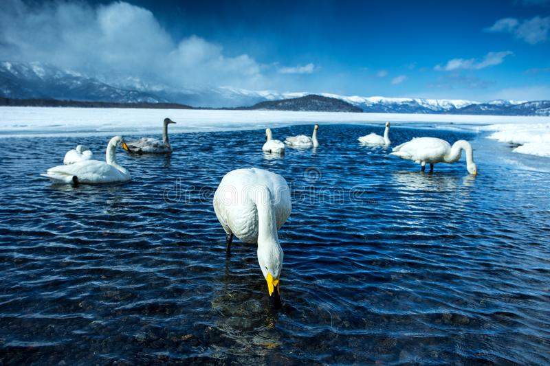 Whooper Swan or Cygnus cygnus swimming on Lake Kussharo in Winter at Akan National Park,Hokkaido,Japan, mountains covered by snow stock images