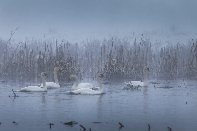 Whooper Swan (Cygnus cygnus) in winter royalty free stock photos