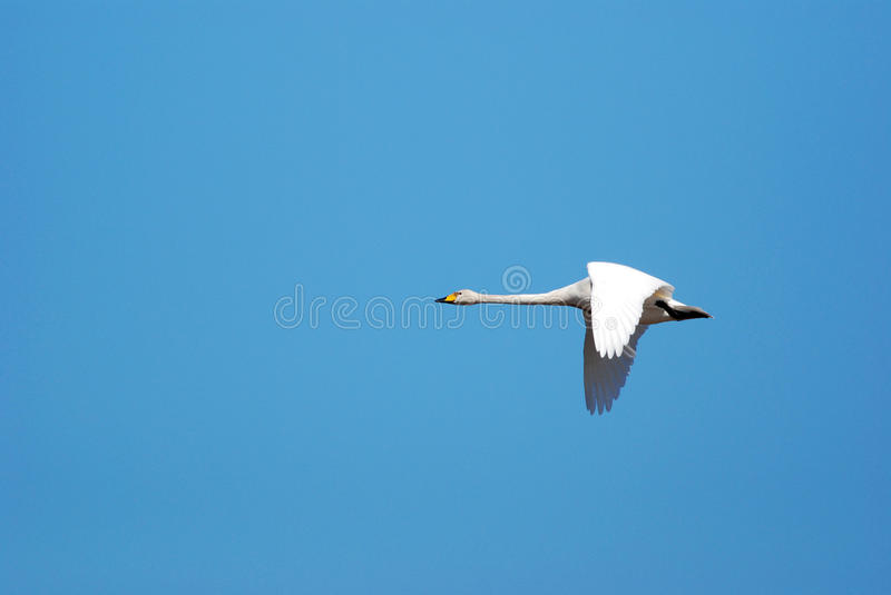 Whooper swan. Flying in daylight royalty free stock photography