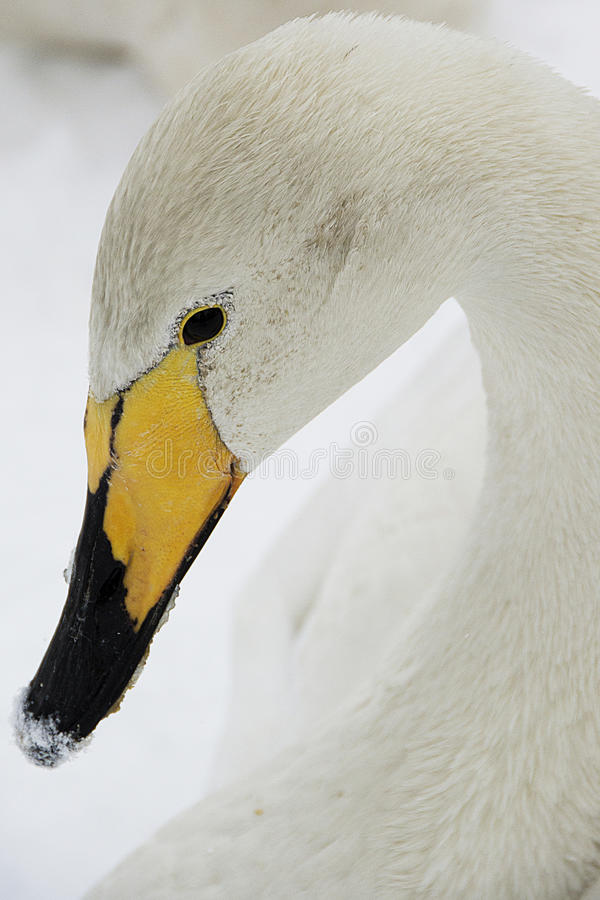 Whooper Swan 2 royalty free stock images