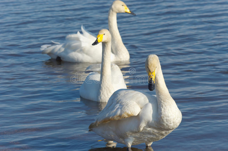 Download Whooper swans stock photo. Image of three, whooper, wild - 21885122