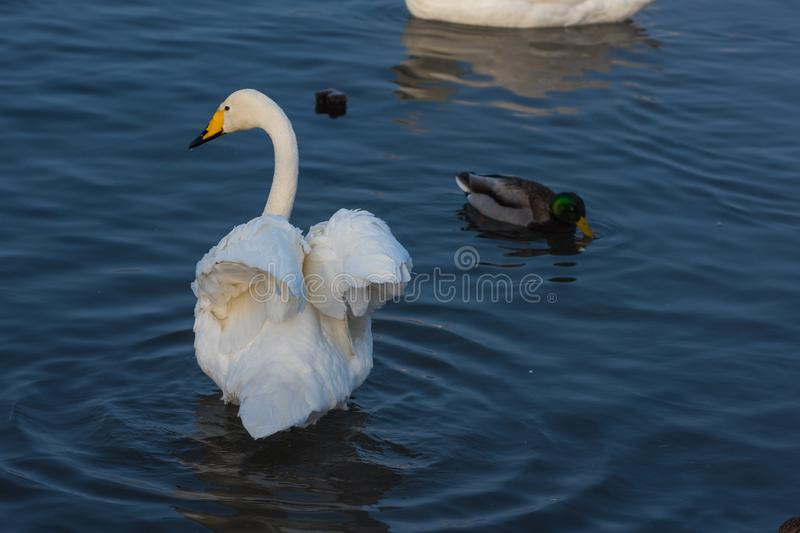 Whooper swans swimming in the lake. Altai, Russia royalty free stock image