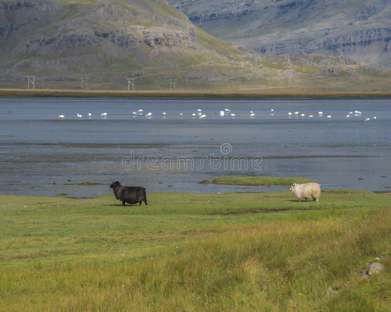 Whoopersvanar och får i en isländsk fjord arkivfoton