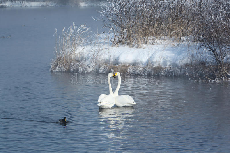 Whoopersvanar som simmar i sjön royaltyfria bilder