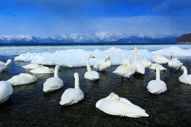 Whooperzwaan, Cygnus-cygnus, vogels in de aardhabitat, Meer Kusharo, de winterscène met sneeuw en ijs in het meer, mistige berg royalty-vrije stock fotografie