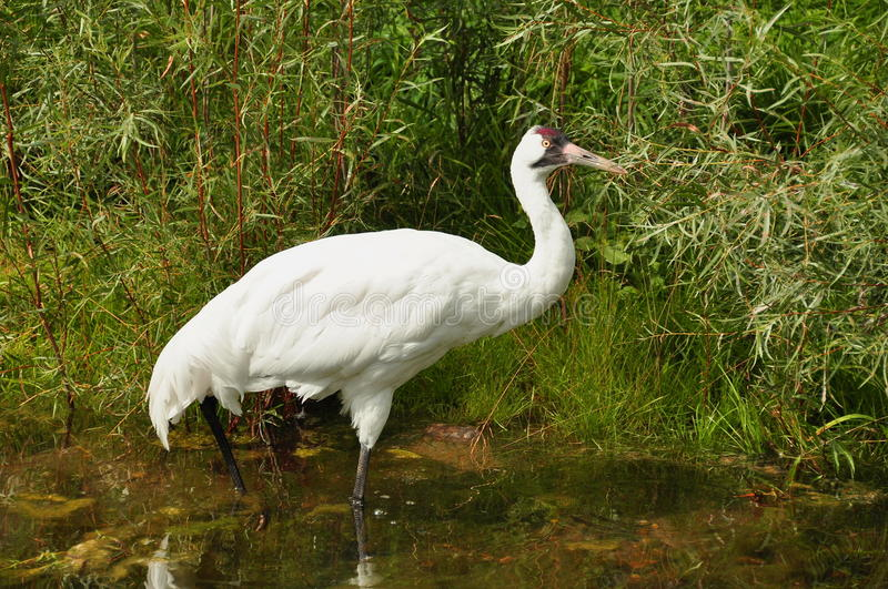 The Whooping Crane royalty free stock images