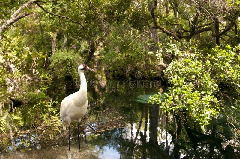 Whooping Crane. A rare whooping crane wading in Homosassa Wildlife Refuge, Florida royalty free stock image