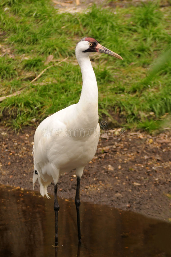 Whooping Crane royalty free stock images
