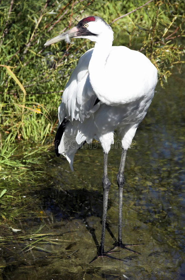 Download Whooping Crane stock photo. Image of wetlands, american - 6383894
