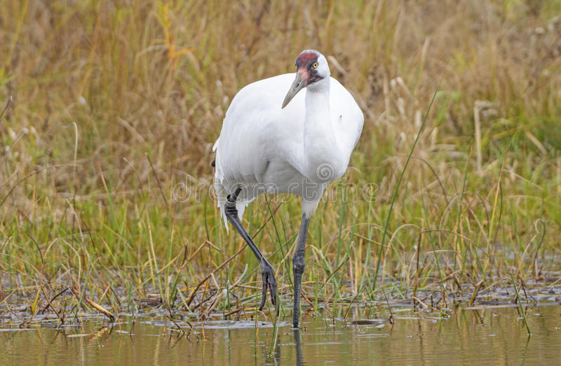 Whooping Crane on the Hunt royalty free stock photo