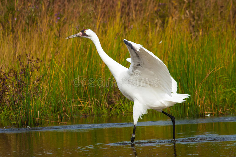 Whooping Crane 2. Whooping Crane at International Crane Foundation, Wisconsin royalty free stock photography