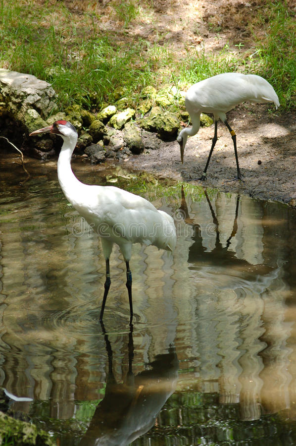 Whooping Crane pair. A pair of Whooping Cranes in captivity. The Whooping Crane is very endangered and this pair is part of a breeding program at Homosassa royalty free stock images
