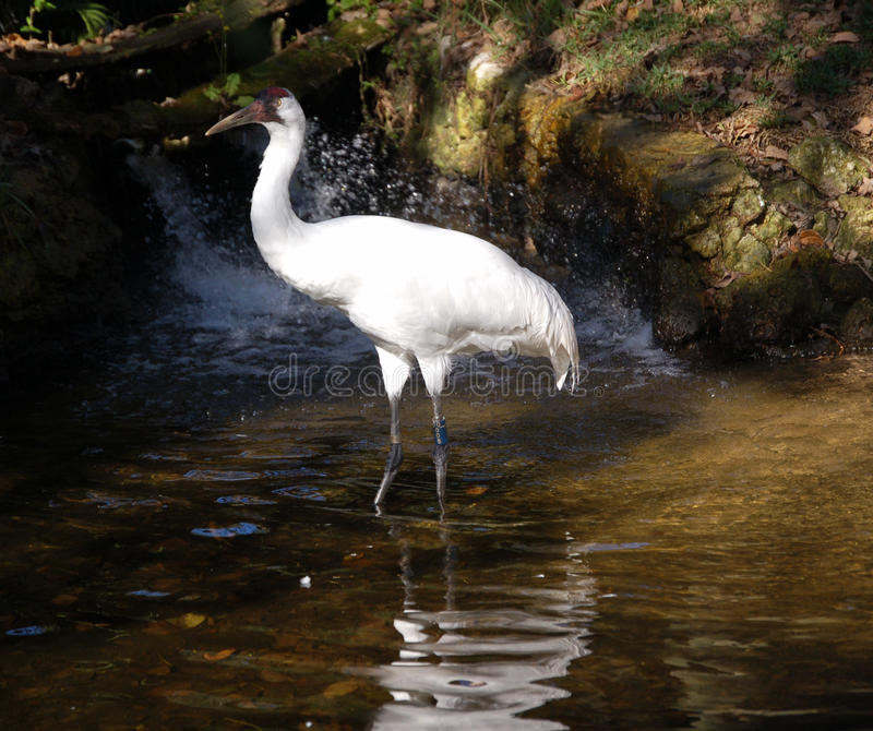 Whooping Crane in the water. A Whooping Crane portrait standing ina waterfall. Taken in Homosassa Springs State park stock photo