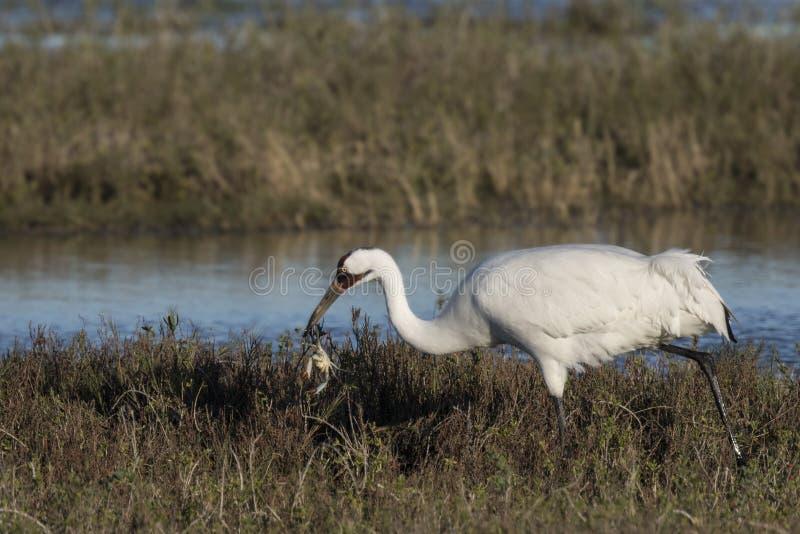 Whooping Cranes. Grazing at Aransas Wildlife Refuge near Rockport, Texas, USA; Carol_Gray royalty free stock photos