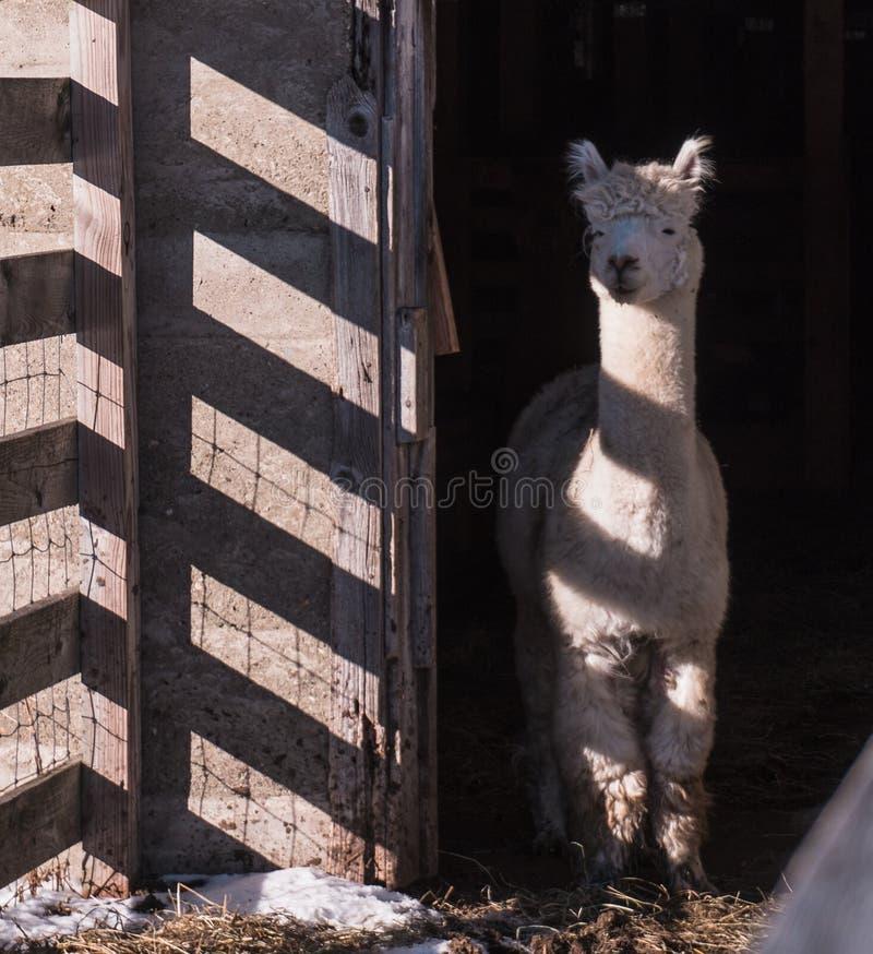 Whte-Alpaka mit gestreiften Schatten lizenzfreie stockfotos