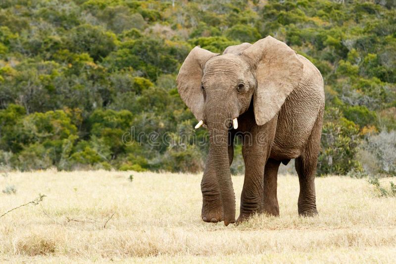 Why The African Bush Elephant stock photography
