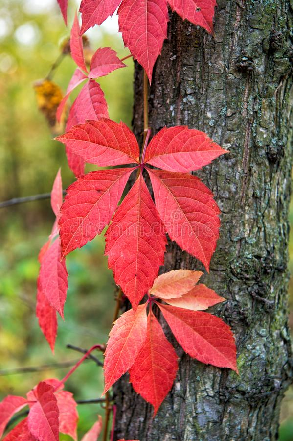 Why leaves changing color. Red leaf. Autumn is already here. Vibrant leaves close up. Autumnal background. Branch leaves stock images