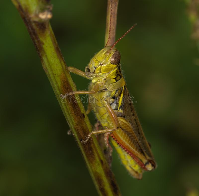 Why the long face Mr Grasshopper royalty free stock image