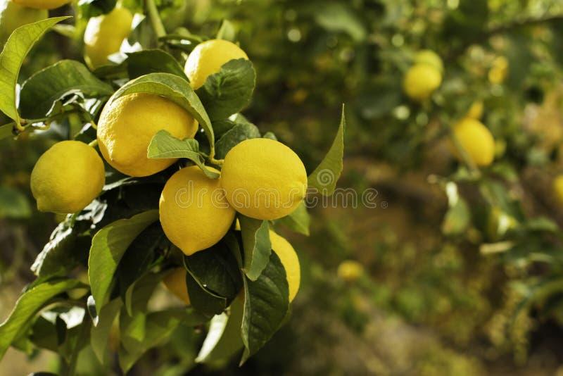 Wiązka świeże dojrzałe cytryny na cytryny gałąź w pogodnym ogródzie zdjęcia royalty free
