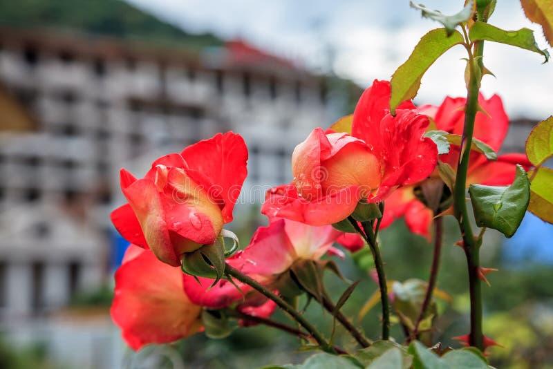 Wiązka kruchy kwitnienie wzrastał kwiaty na pięknym miastowym tle zdjęcie stock
