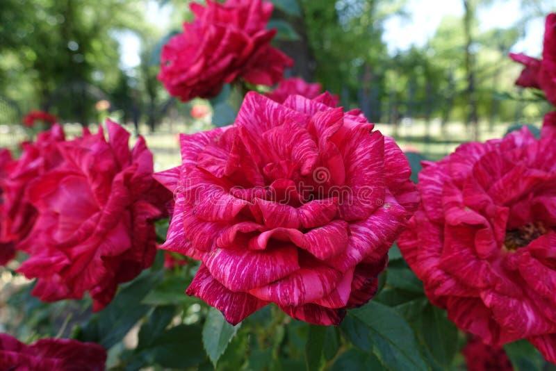 Wiązka kwiaty czerwieni pasiaste róże fotografia stock