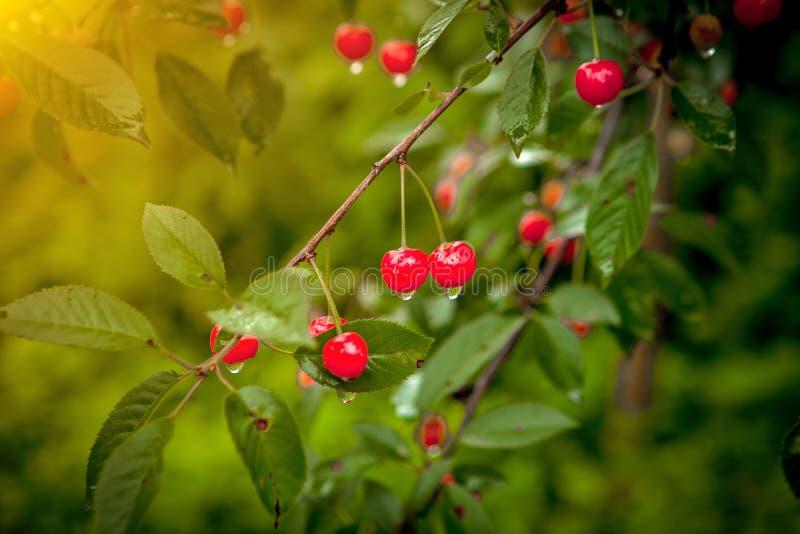Wiśnia w kroplach po deszczu w ogródzie fotografia royalty free
