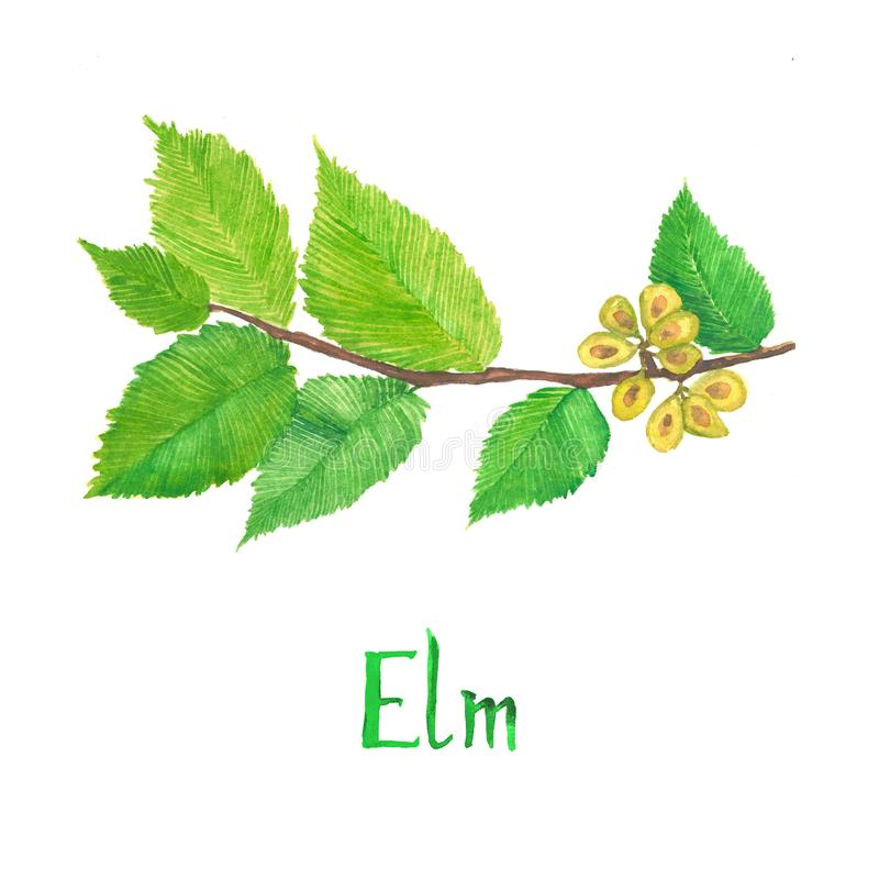 Wiąz gałąź z zielenią opuszcza i ziarna, ręka malująca akwareli ilustracja z inskrypcją odizolowywającą zdjęcia stock