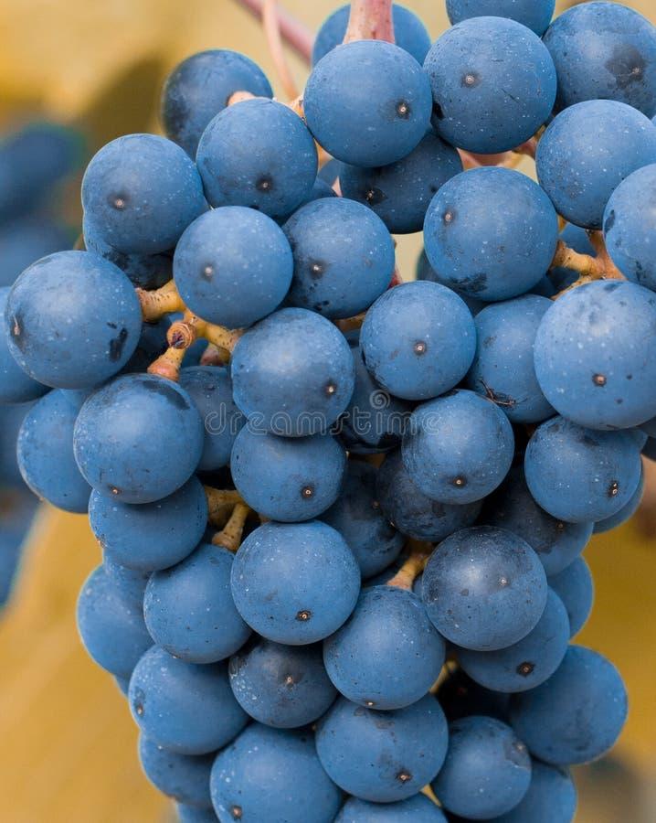 wiązek błękitny winogrona obraz royalty free