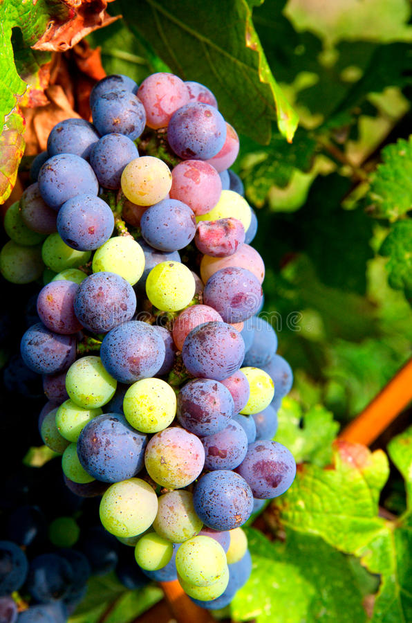 wiązek Cabernet winogrona fotografia stock