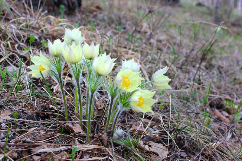 wiązka śnieżyczka kwitnie w lesie zdjęcia stock